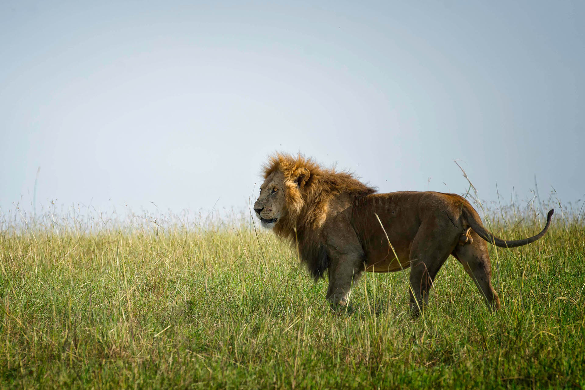 WildNas-Photography-signature-photo-safaris-maasai-wanderings-africa-wildlife-serengeti-lion
