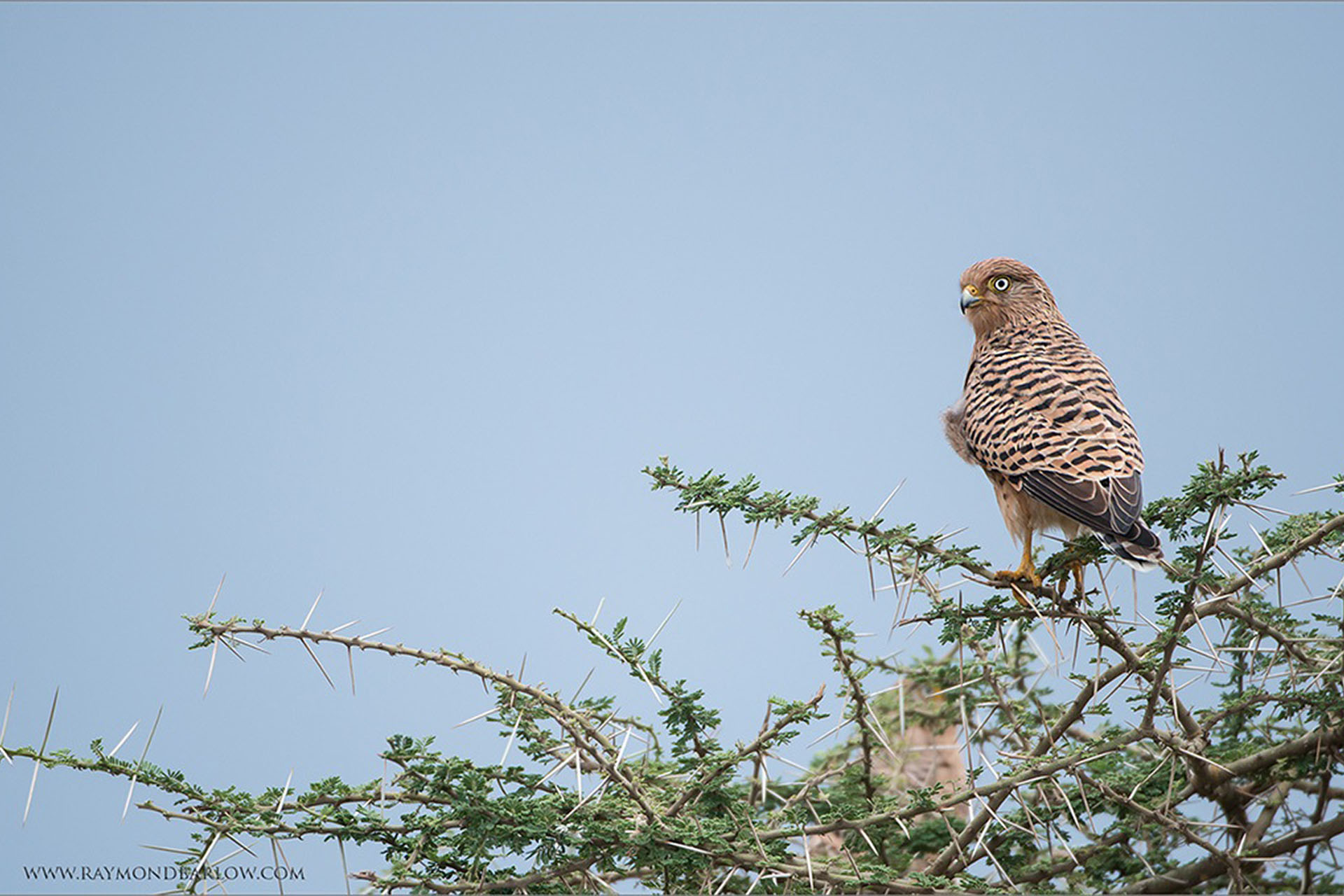 dee-ann-photography-signature-photo-safaris-maasai-wanderings-africa-wildlife-birds-Greater-Kestrel