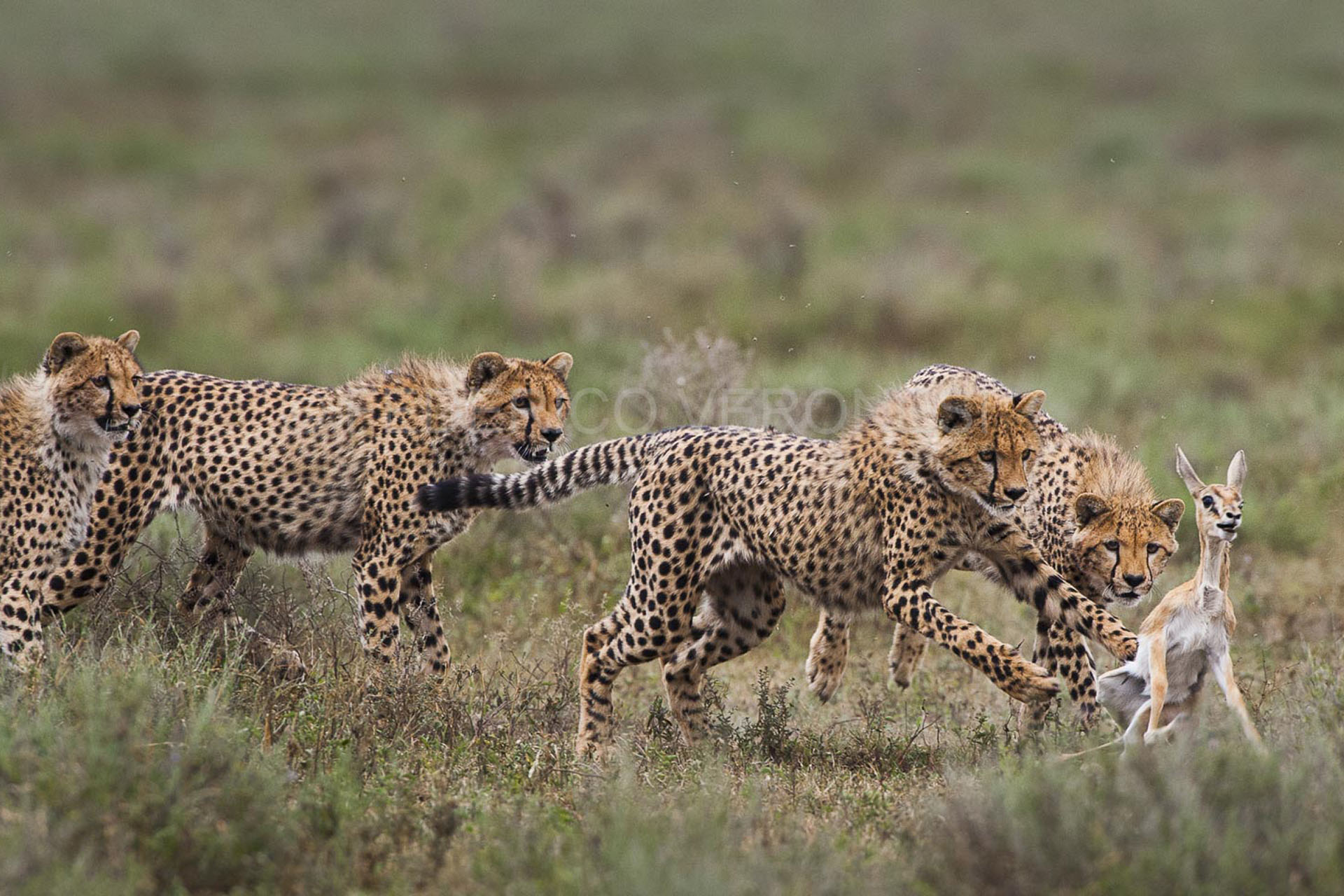 federico-veronesi-photography-signature-photo-safaris-maasai-wanderings-africa-wildlife-cheetahs