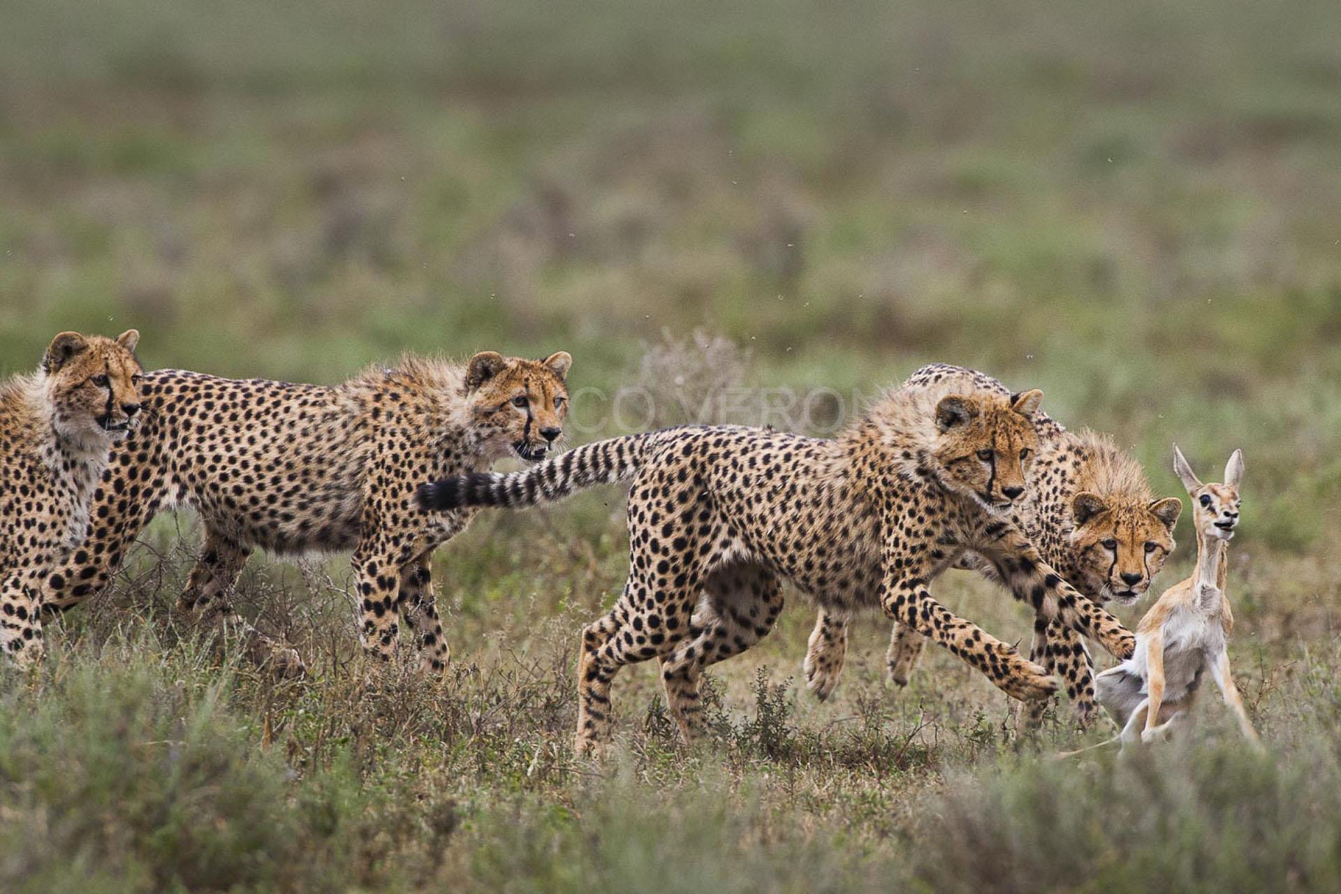 federico-veronesi-photography-signature-photo-safaris-maasai-wanderings-africa-wildlife-cheetahs