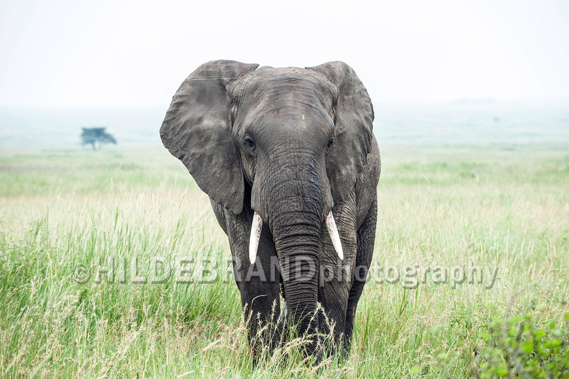frank-hildebrand-photography-signature-photo-safaris-maasai-wanderings-africa-wildlife-elephant