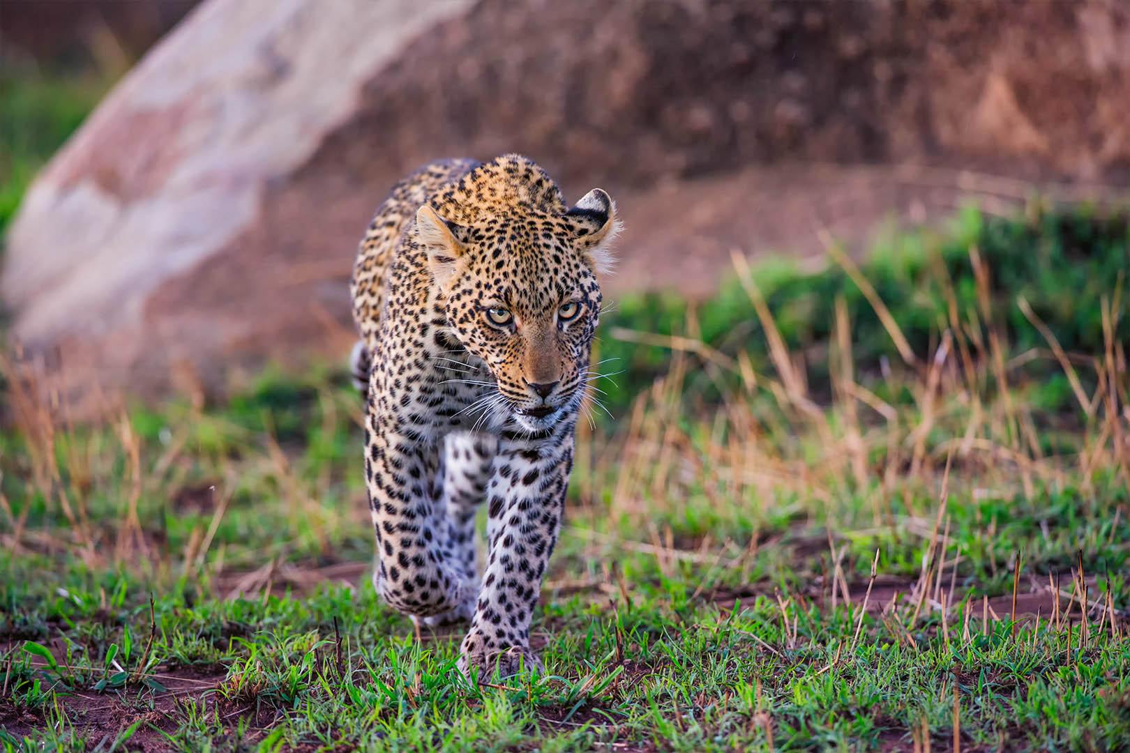 gallery-maasai-wanderings-safari-itineraries-signature-photo-safaris-africa-leopard