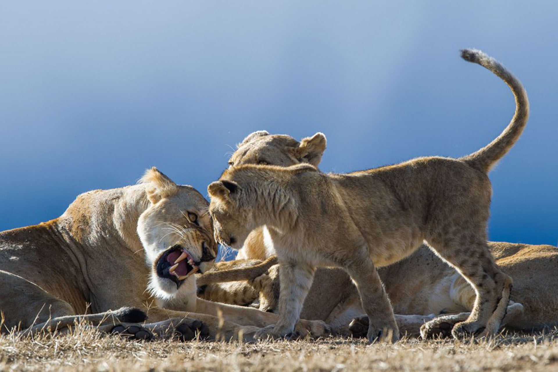 paul-joynson-hicks-photography-signature-photo-safaris-maasai-wanderings-africa-wildlife-lions