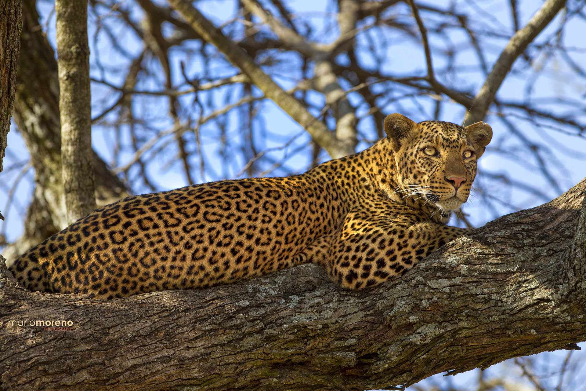 signature-photo-safaris-maasai-wanderings-safari-itineraries Mbalageti Leopard
