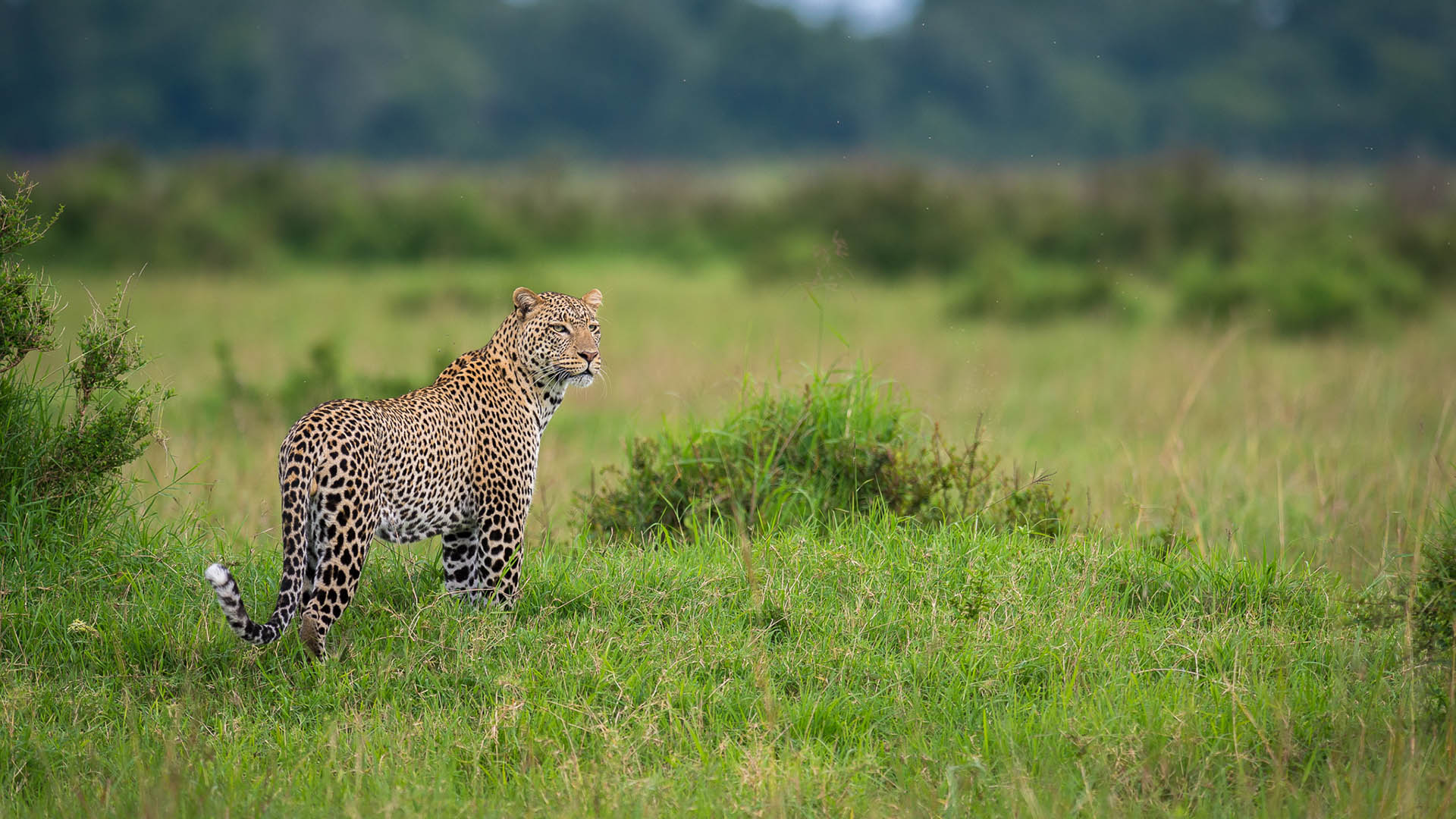 media-articles-maasai-wanderings-africa-blog-posts-leopard