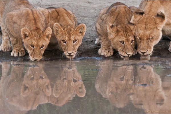 raymond barlow photography signature-photo-safaris-maasai-wanderings-africa-wildlife-lion-family-on-the-waters-edge